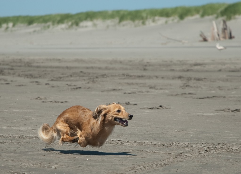 Running_Dachshund_at_the_beach