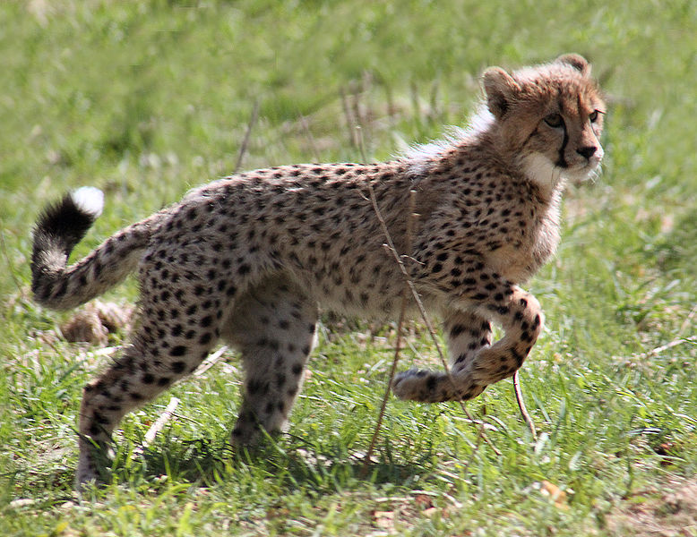 Cheetah kitten ... looks just like Cecil.